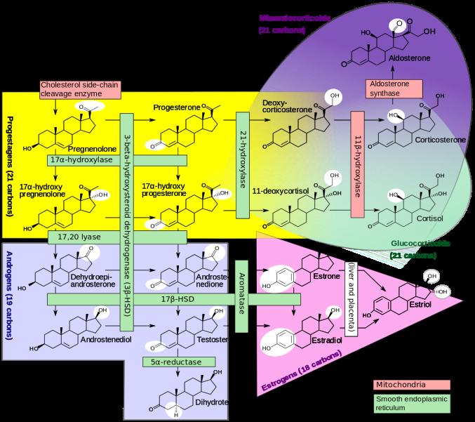 Steroidogenesis.svg